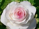 рассады роз