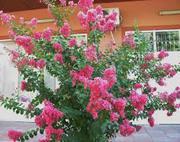 кустарн. цветы ЛАГЕРСТРЕМИЯ
