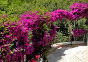 кустарниковые цветы бугенвиллия