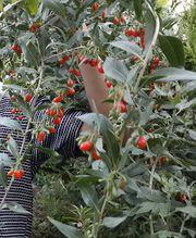 продается растения  Годжи Берри,  киви,  облепиха