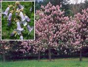 Уникальноe дерево Павловния