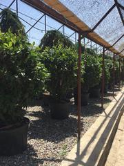 Цветы, Деревья и любые Озеленения от BAHOR GULLARI