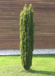 Bahor Gullari-Тис 60 см